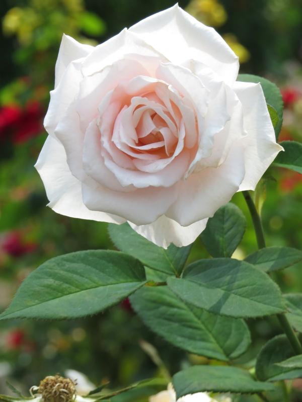 Rosa Märchen Königen