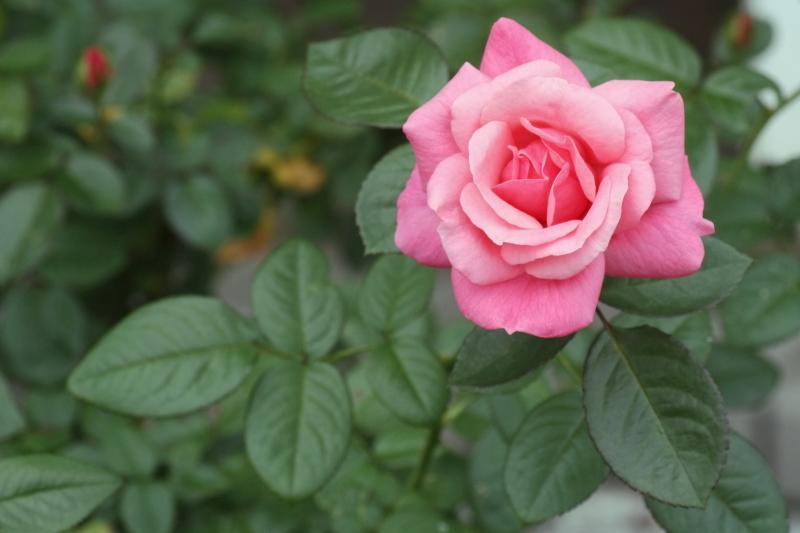 Rosa Magali