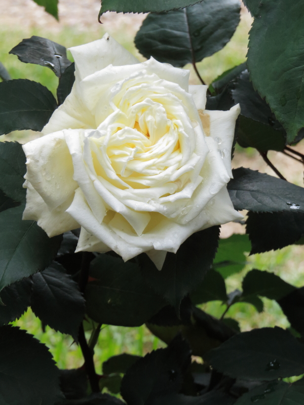 Rosa Royal Princess