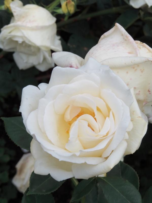 Rosa White Christmas