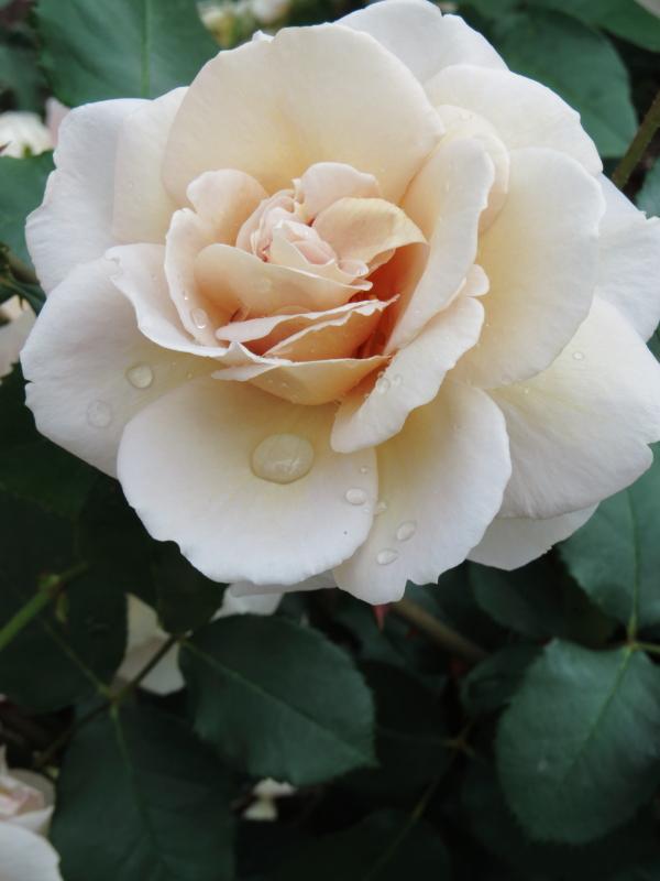 Rosa Grey Pearl