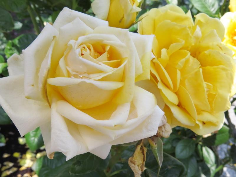 Rosa Michelangelo