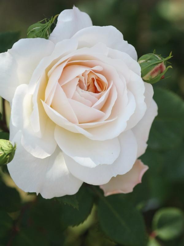 Rosa English Gardem