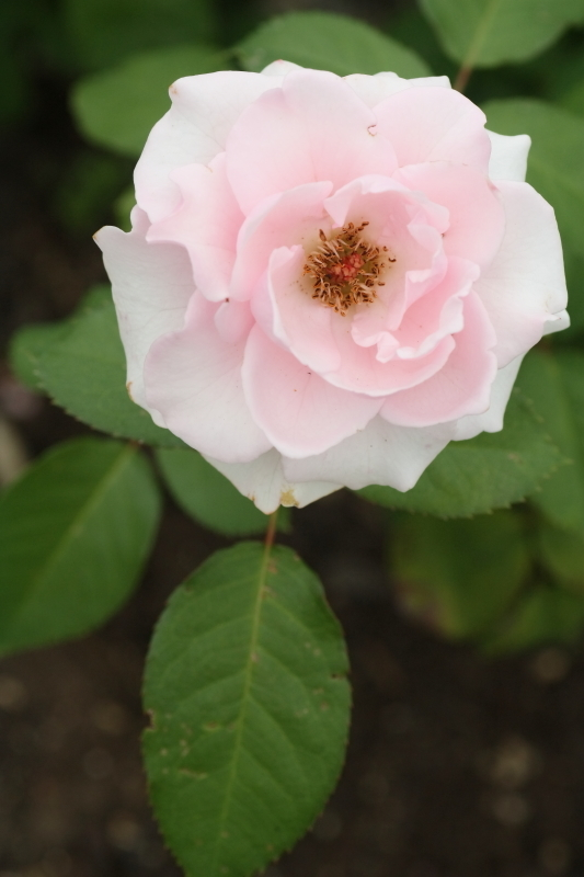 Rosa'Soshun' 早春