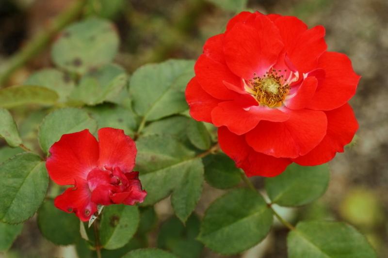 Rosa Concertino