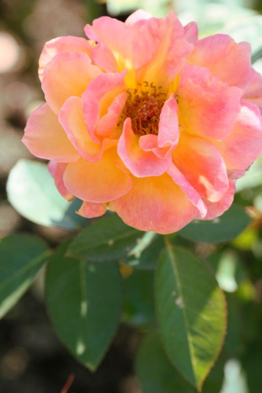 Rosa Souvenir d'Anne Frank