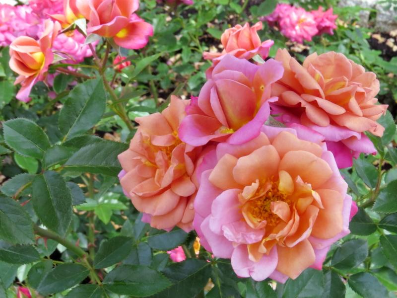 Rosa Kaleidoscope