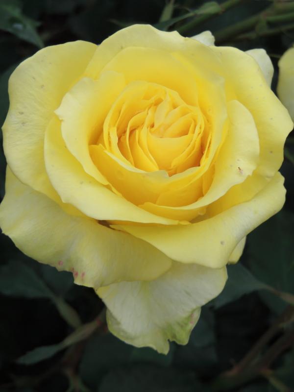 Rosa Golden Medaillon