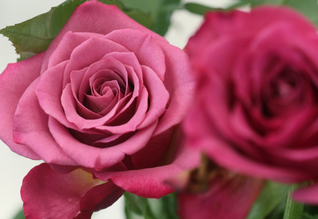 Rosa'Yagi-murasaki'