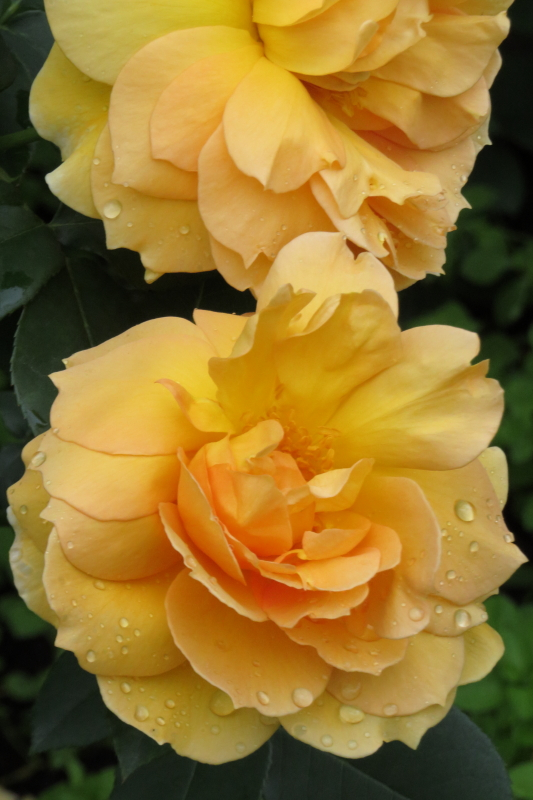 Rosa Mme. Charles Sauvage