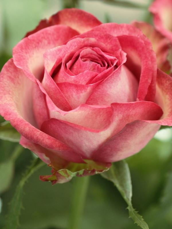 Rosa Olivia