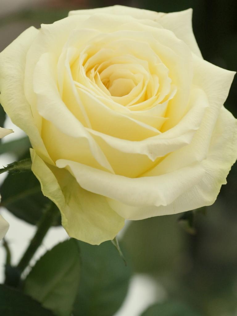 Rosa'Yagi-lemon'