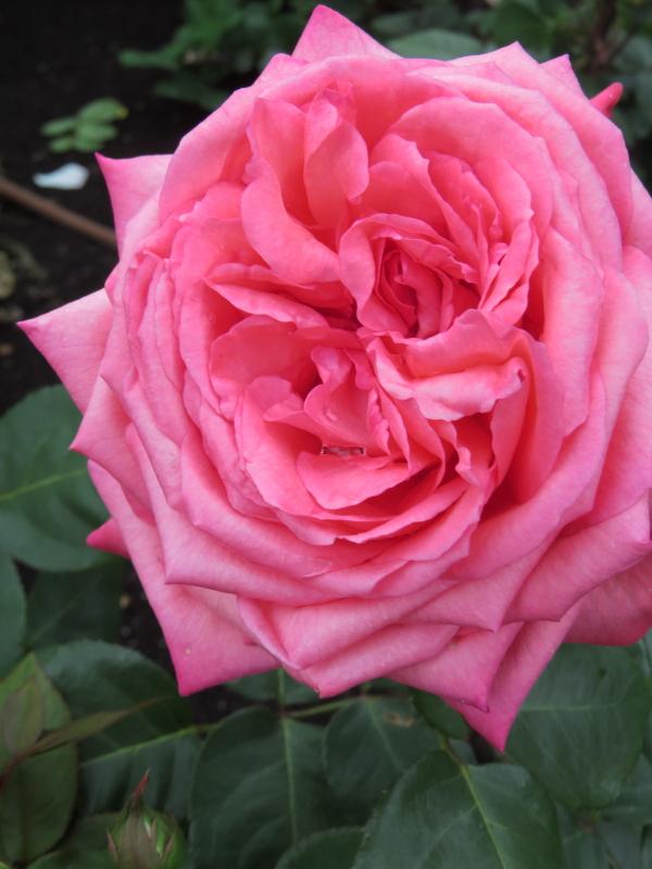 Rosa Pink Panther