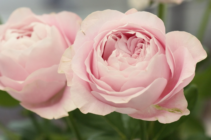 Rosa'All 4 Heart'