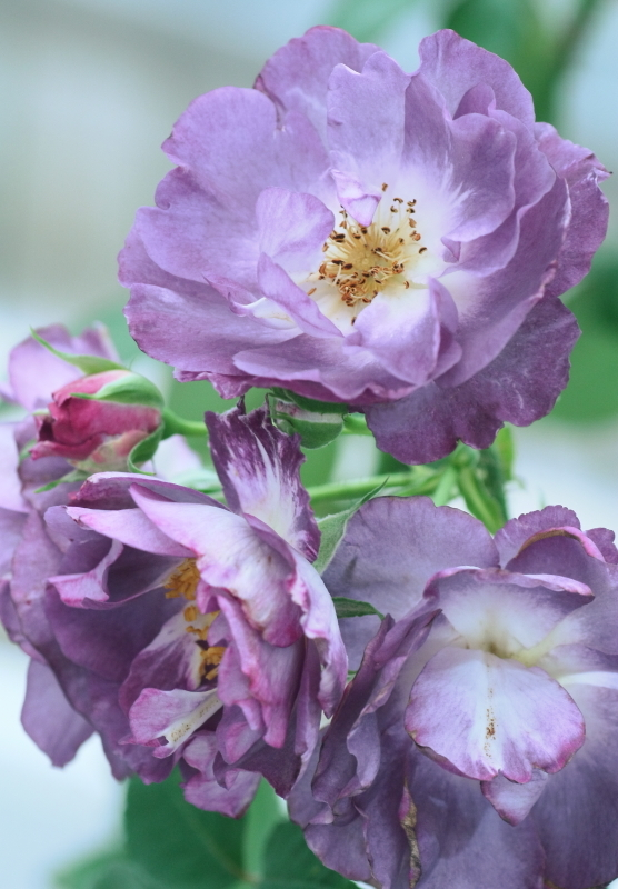 Rosa'Blue for you'