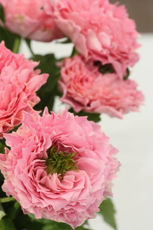 Rosa'All 4 Cute'