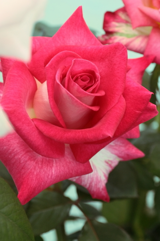 Rosa Red Cliff