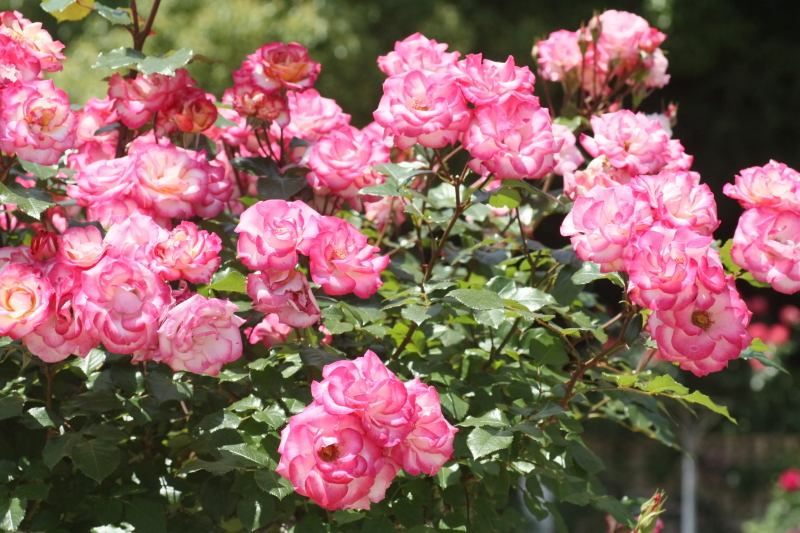 Rosa Strawberry Ice