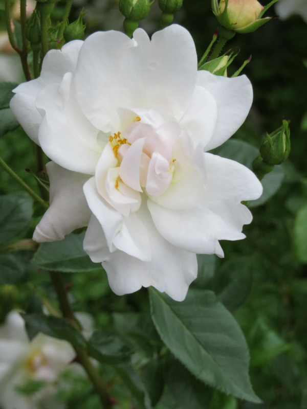 Rosa Elfe