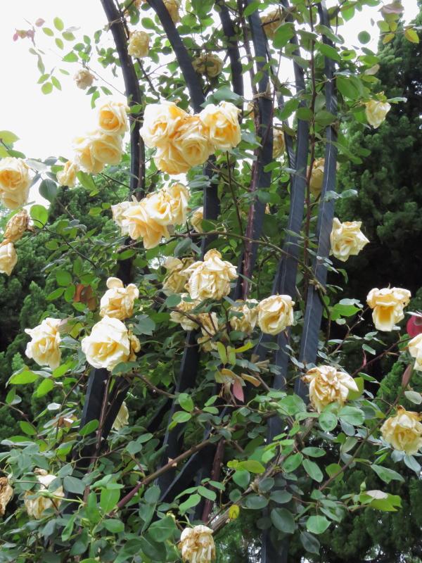 Rosa Climbing Lady Hillingdon