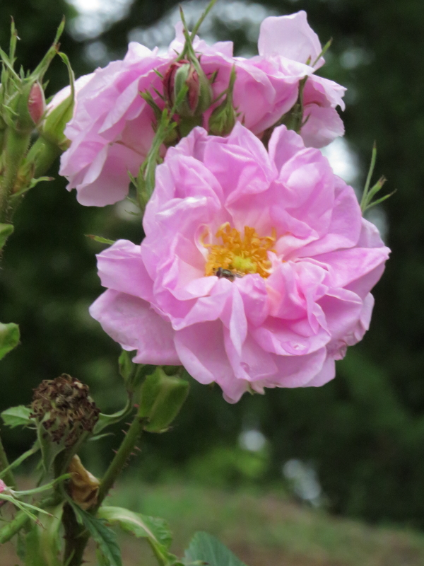 Rosa damascena bifera