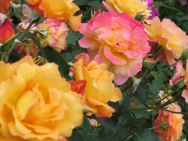 Rosa Souv. d'Anne Frank