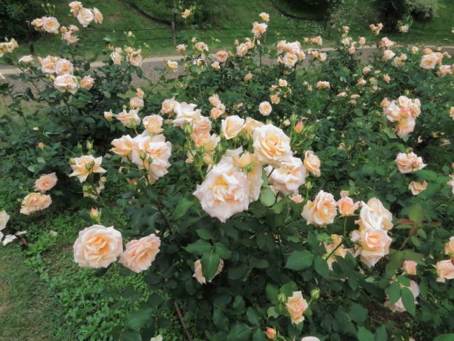 Rosa Apricot Nectar
