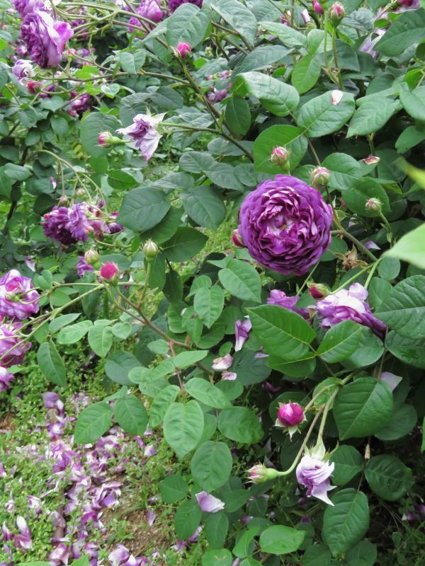 Utsubo Park:Rose Garden
