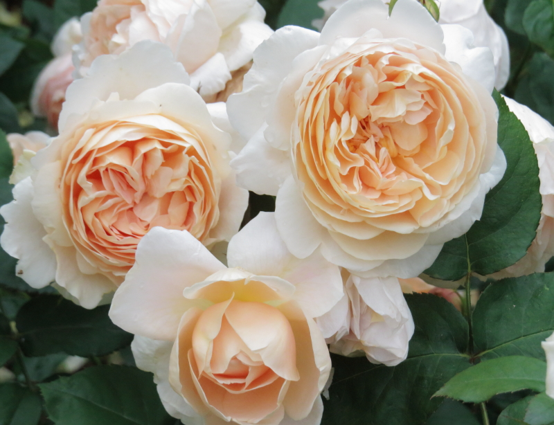 Rosa Ambridge Rose
