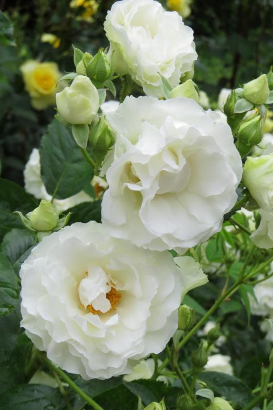 Rosa Summer Snow
