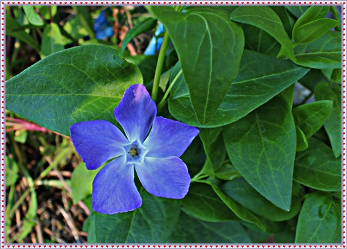 IMG_0969O女史宅から貰ってきたツルが伸びる花