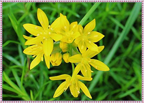 IMG_2072ニンニクくさい花