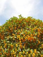 今年は遅い金木犀の開花