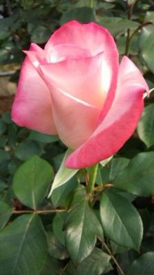 花巻のバラ
