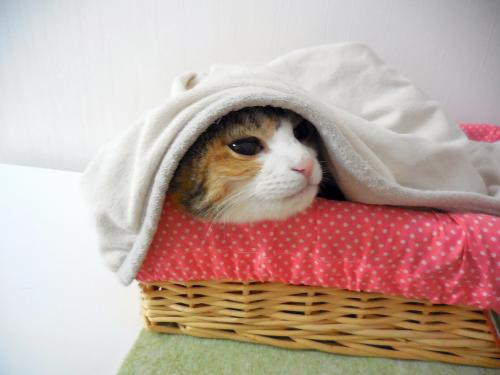 みく毛布潜る