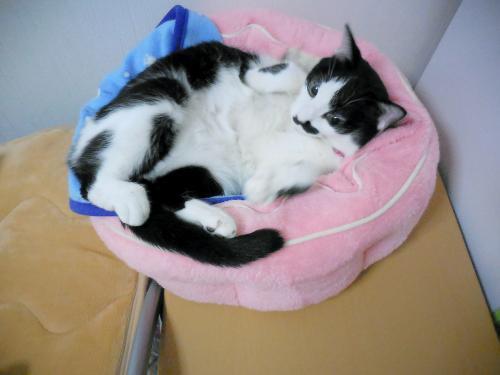 猫鍋くぅ仰向け