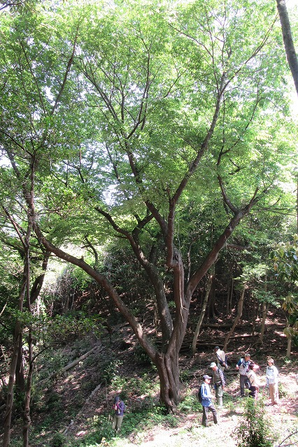 志保山 途中の山桜の木 縦 28.4.26