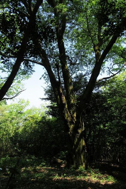 山桜 七宝 高瀬100景 28.4.26