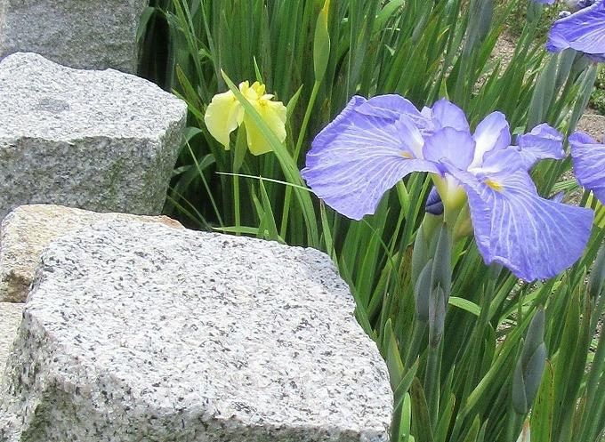 菖蒲の花 28.6.1