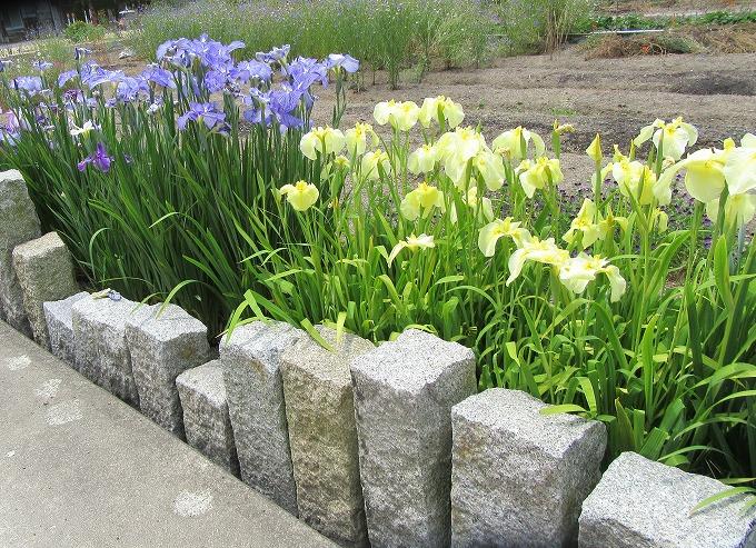 菖蒲の花 薄黄色と青 28.6.1