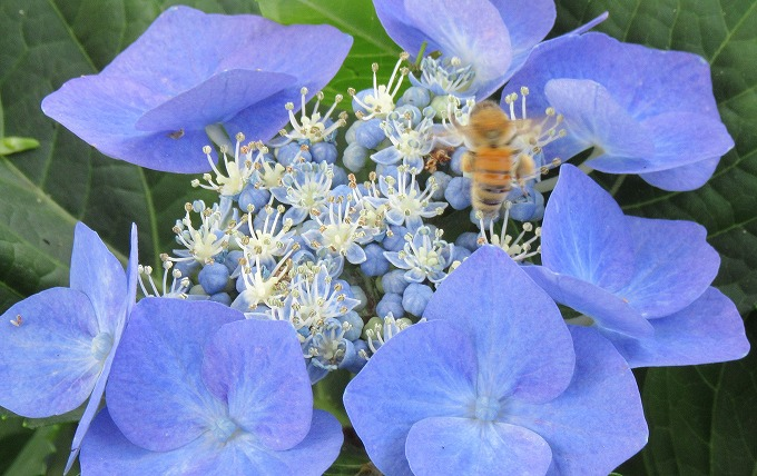 がく紫陽花に蜜蜂さん 28.6.15