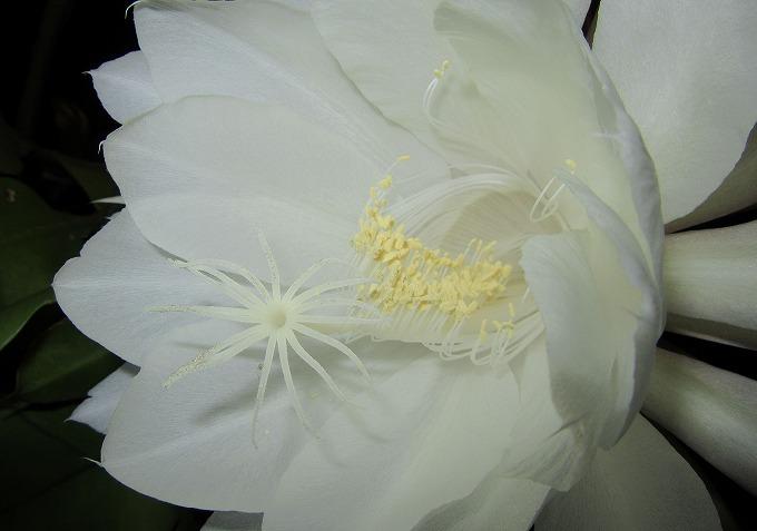月下美人の花の中 28.6.26