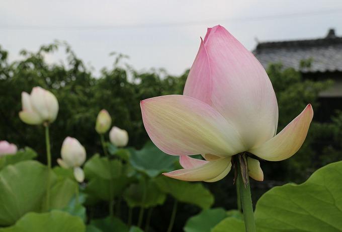 ハスの花いっぱい 大坊 282.7.5