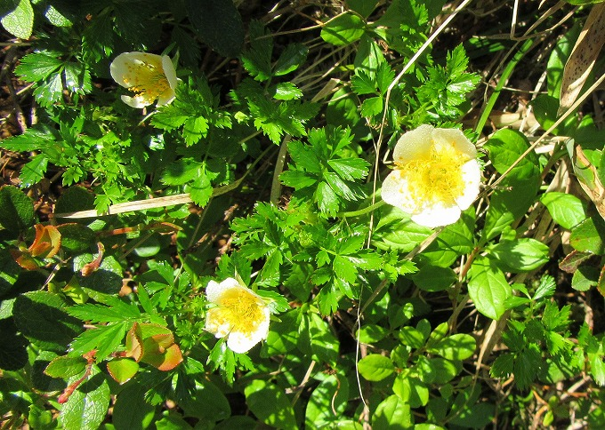 チングルマの花 3 28.7.24
