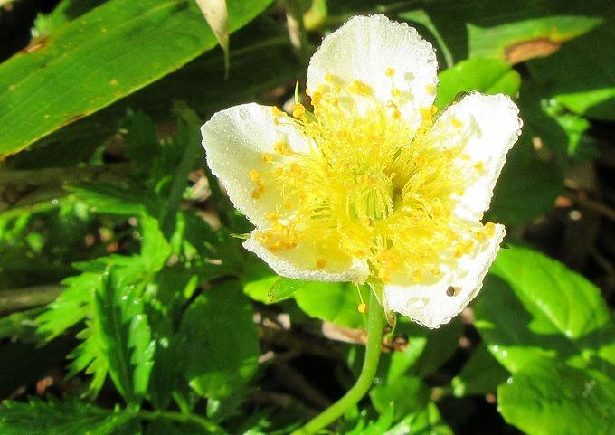 チングルマの花 1 28.7.24