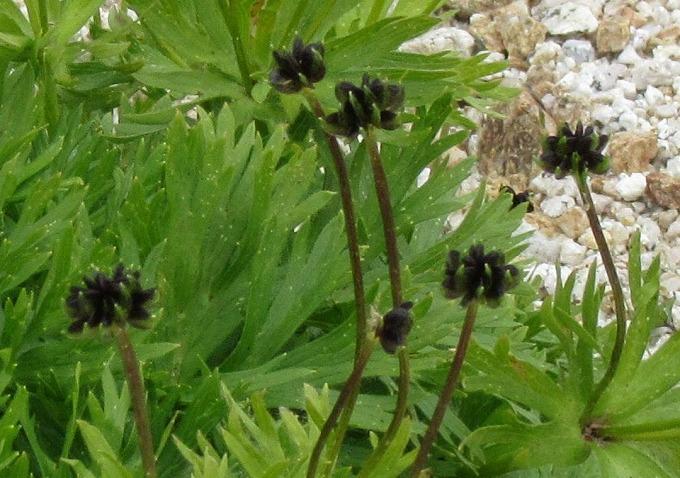 黒い実か花のアップ 28.7.23