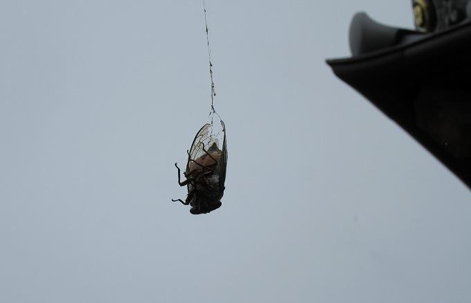 セミ蜘蛛の巣にまだ生きてる 28.8.3