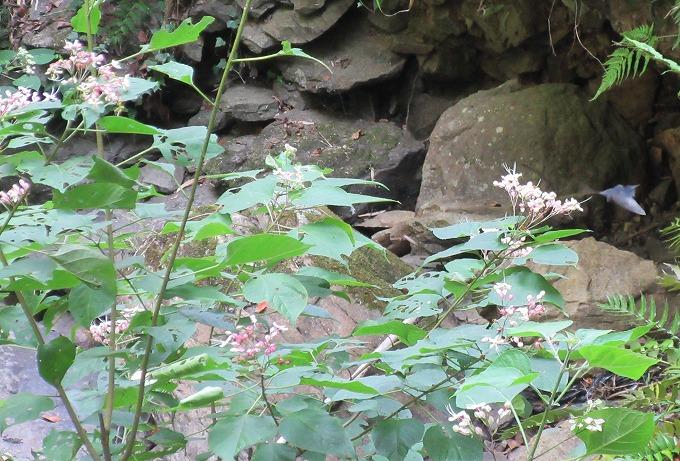 黒い蝶が居た 木の花 28.8.13
