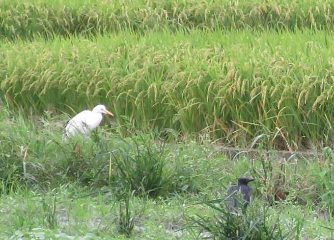 鷺と烏も避難 台風16号 28.9.20