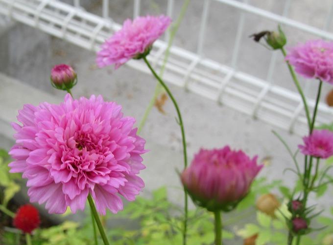 八重咲きコスモス 28.10.7